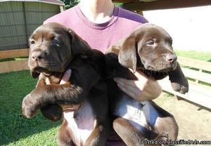 ddddvff chocolate Labrador Retriever Puppies Available