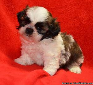 outstanding jdgd male and female shih tzu puppies for sale