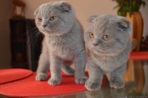 ssfdf Scottish fold Kittens Available