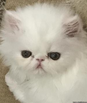 Beautiful white male persian kitten 7 weeks