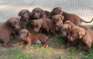 Chocolate Lab/Pit Mix Puppies