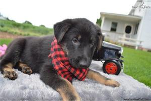 Husky/German shepherd puppies for sale