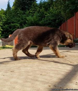 Sweet natured German Shepherd Mix needing a loving home!