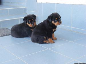 Akc registered rotweiller puppies ready