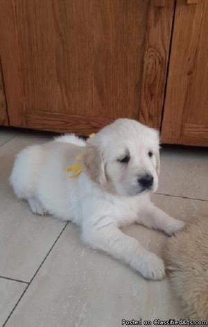 Creative Golden Retriever Puppies