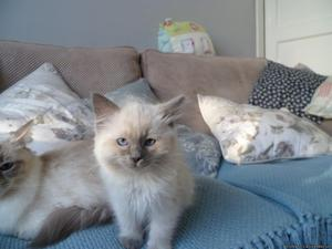 Ragdoll kittens ready here for homes