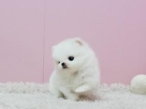 Teddy Bear Faced Pomeranian