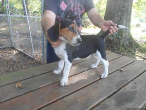 Male Beagle pup (Troy)