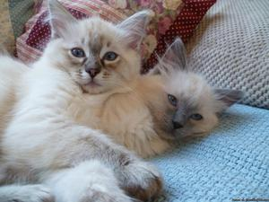 Pretty ragdoll kittens ready here
