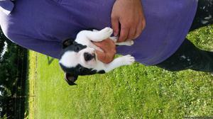 AKC Boston Terrier female puppy