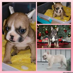 Adorable female Frenchie 8 weeks old looking for her forever