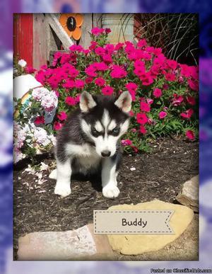 Buddy: Male AKC Siberian Husky