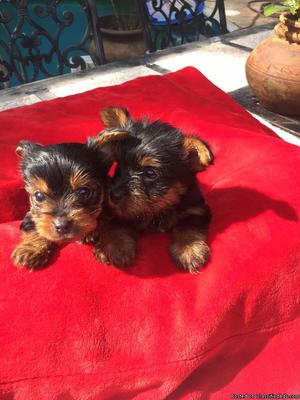 akc registered male and female yorkie puppies (