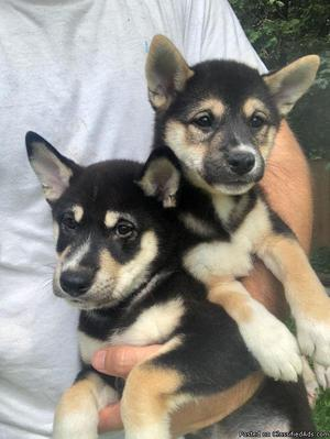 Shiba Inu male puppy for sale