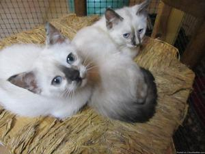 Siamese Himalayan Mix kittens for sale