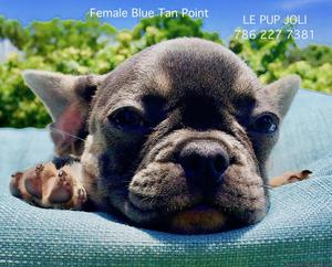 AKC French Bulldog- BLUE FEMALE