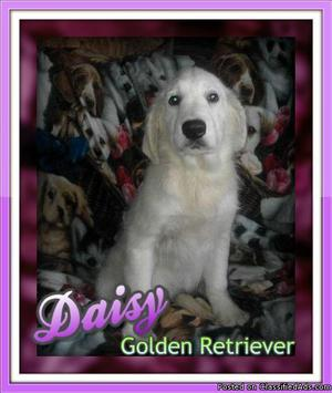 Daisy: Female AKC Golden Retriever