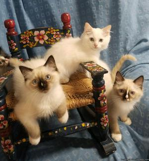 Beautiful TICA Ragdoll kittens for Sale!