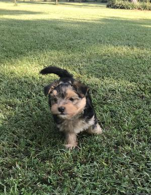 Adorable Morkie pup