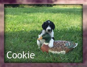 Cookie: Female Standard Poodle