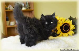 Persian Kitten avaliable for sale