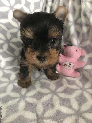 Gorgeous AKC Female Yorkie Puppy