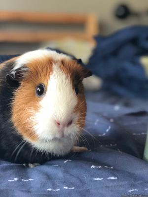 Guinea Pig (female)