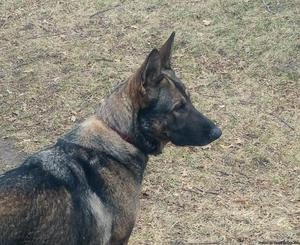 AKC German Shepherd female for sale.