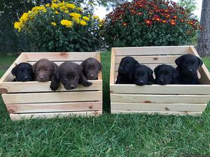 Adorable chocolate and black lab puppies!