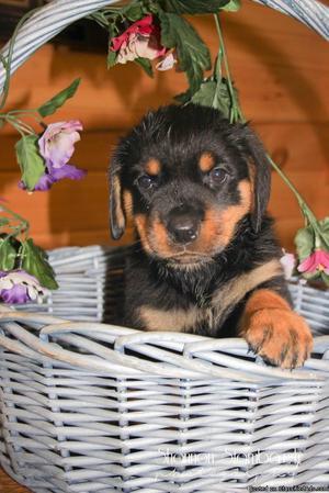 Linda: Female AKC Rottweiler
