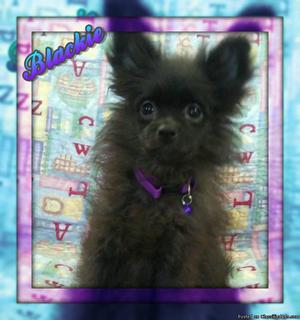 Blackie Female ACA Pomeranian