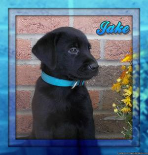 Jake Male AKC Labrador Retriever