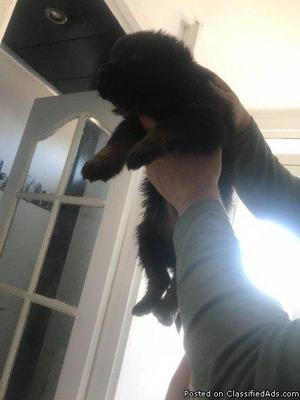 11 month old Shepard husky $350