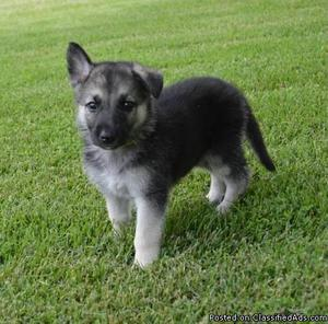 German Shepard Puppies!!!!200