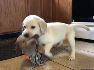 Labrador Retriver Pups (AKC)