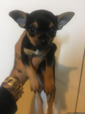 1 month old female teacup chihuahua