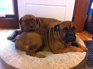 10 Dogue de Bordeaux (French Mastiff) puppies for sale.