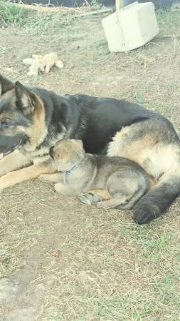 3 year old German shepherd