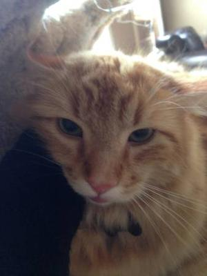 Beautiful affectionate cat for rehoming