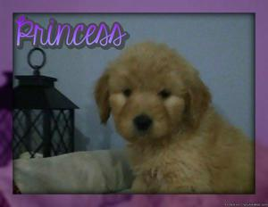 Princess Female Goldendoodle