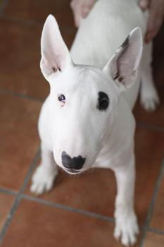 male and female Bull terrier puppies