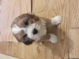 Cavalier King Charles Spaniel Mixed Puppies for Sale