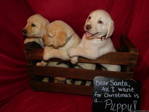 AKC English Labrador Puppies
