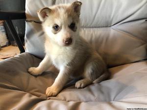 AKC Siberian Husky