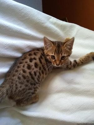 Three Bengal Kittens left!