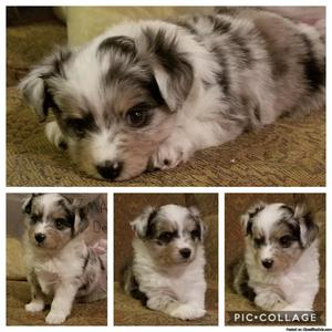 mini australian shepherd female,blue merle