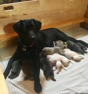 AKC Registered English Labrador Retrievers