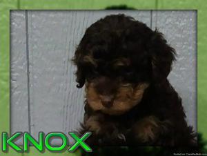 Knox Male Cavapoo