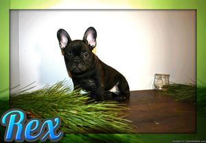 Rex Male AKC French Bulldog