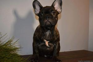 Lexi Female AKC French Bulldog